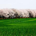 천안 성환벚꽃