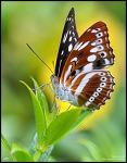Sergeant butterfly