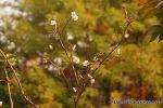 한 가을의 겹벚꽃