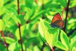 큰주홍부전나비
