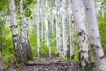 인제 원대리 속삭이는 자작나무숲