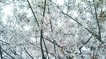 벚꽃이 지기 전에 서둘러 찍었어요. ㅎㅎ