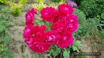 아름다운 장미꽃