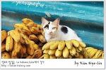 [적묘의 쿠바]아바나 고양이가 있는 흔한 동네 시장, 바나나판매왕