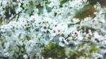 조팝나무꽃과 꽃망울