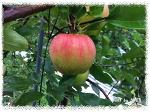 맛있는 사과  /  여름사과 산사수확