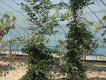 구아바나무