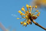 산수유나무_20170330