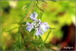 처음으로 로즈마리꽃 보라색 꽃을 피우다 로즈마리 키운지 거의 10년만에