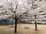 scene#5 봄날, 벚꽃 그리고...