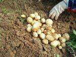 주말농장...  감자를 깨다. 고구마를 심다.  2013.6.16...