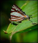 Dodona henrici (White punch) butterfly
