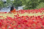 부천 상동호수공원 꽃양귀비와 청보리밭