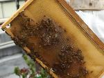 [경향신문]번화가 시부야… 꿀벌과의 달콤한 동거