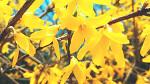 정겨운 꽃 개나리