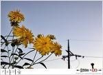 키다리꽃 혹은 겹삼잎국화