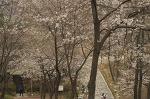 안산 노적봉 벚꽃, 인공폭포는 공사중