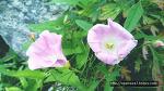 은은한 핑크빛 메꽃