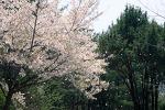 흩날리는 벚꽃