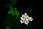 조팝나무 꽃 그리고 SNS