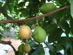 구아바 첫 과일이 익기시작하였습니다.