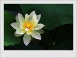 백련, 수련...관곡지 연꽃