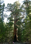 Yosemite National Park - Mariposa Grove