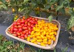 토마토 재배방법[방울토마토,흑토마토 수확시기,첫 수확,효능]