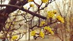 [야생화] 노란 산수유꽃이 피는 그날을 기다려본다/산수유꽃 꽃말은 지속, 불변/죽풍원의 행복찾기프로젝트