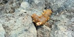 갯바위 원투낚시 꼬막미끼 포인트에서 해삼낚았습니다.