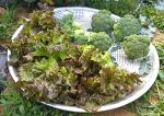 브로콜리 효능과 꽃봉오리 수확