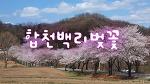 차를 타고 벚꽃길 드라이브... 합천백리벚꽃길