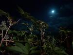 보름달 피마자 아주까리 산원초 열린세상