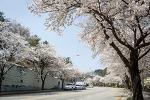 아산 남산터널 벚꽃