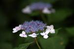 [야생화] 한 여름 무더위를 피해 산속 그늘에 핀 산수국/산수국 꽃말은 '변하기 쉬운 마음'/죽풍원의 행복찾기프로젝트
