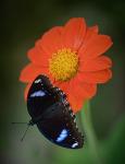 남방오색나비 eggfly butterfly