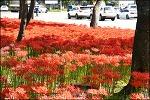 9월 하순의 꽃무릇-중리체육공원,만평네거리