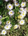 [야생화] 10월에 피는 야생화 벌개미취, 벌개미취 꽃말은 청초, 너를 잊지 않으리