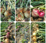 무농약 무비료 무제초제로 키운  유기농 양파