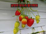 양평/양수리 딸기체험 후기(in 두물나루 딸기농장)