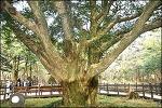 (제주 여행 ) 비자림(평대리 비자나무 숲)-천연기념물 제374호