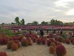 하늘공원 억새축제 / 하늘공원 핑크뮬리 소식(서울억새축제 소개)