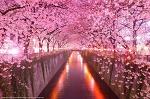 [일본여행] 도쿄 벚꽃 명소 인기 순위 및 벚꽃 축제 일정