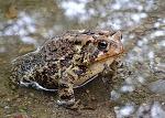 두꺼비는 왜 황소개구리를 죽였을까?