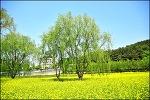 ( 대구 유채꽃 명소 ) 두류공원,성당못 옆 유채꽃 단지