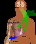 인간 성장 호르몬(HGH)과 성장판, 키성장의 관계, 성장 호르몬 부작용
