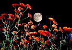 달, 그리고 국화
