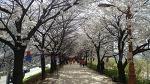 봄소식이 들려오는 안양천 풍경/ 서울벚꽃 개화시기