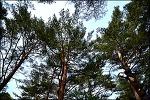 영양 본신리 금강소나무생태경영림