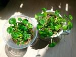 천연 가습기 '워터 코인' 수경 재배하는 법